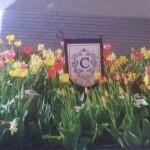 tracy-tulip